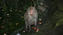 Balinese long tailed Monkey