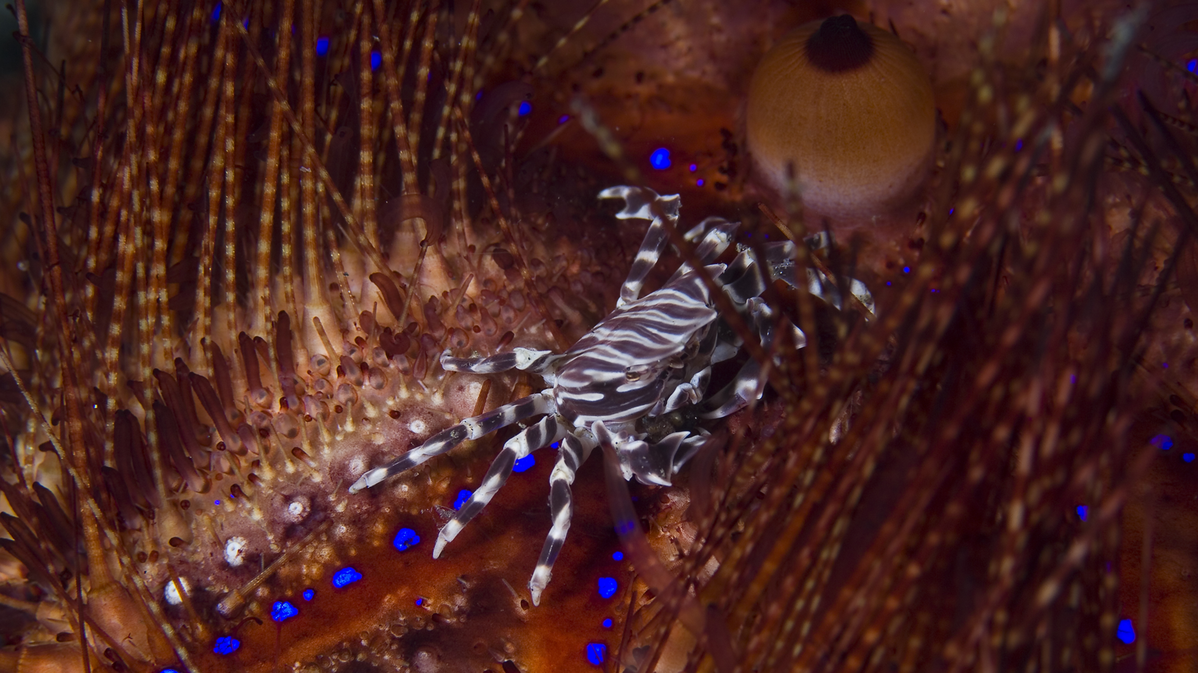 Zebra Crab on Flame Urchin