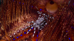 Zebra Crab on Flame Urchin