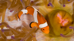 Clownfish and the Mouth of the Anemo