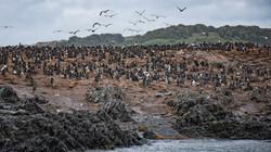 Patagonian Cormorants