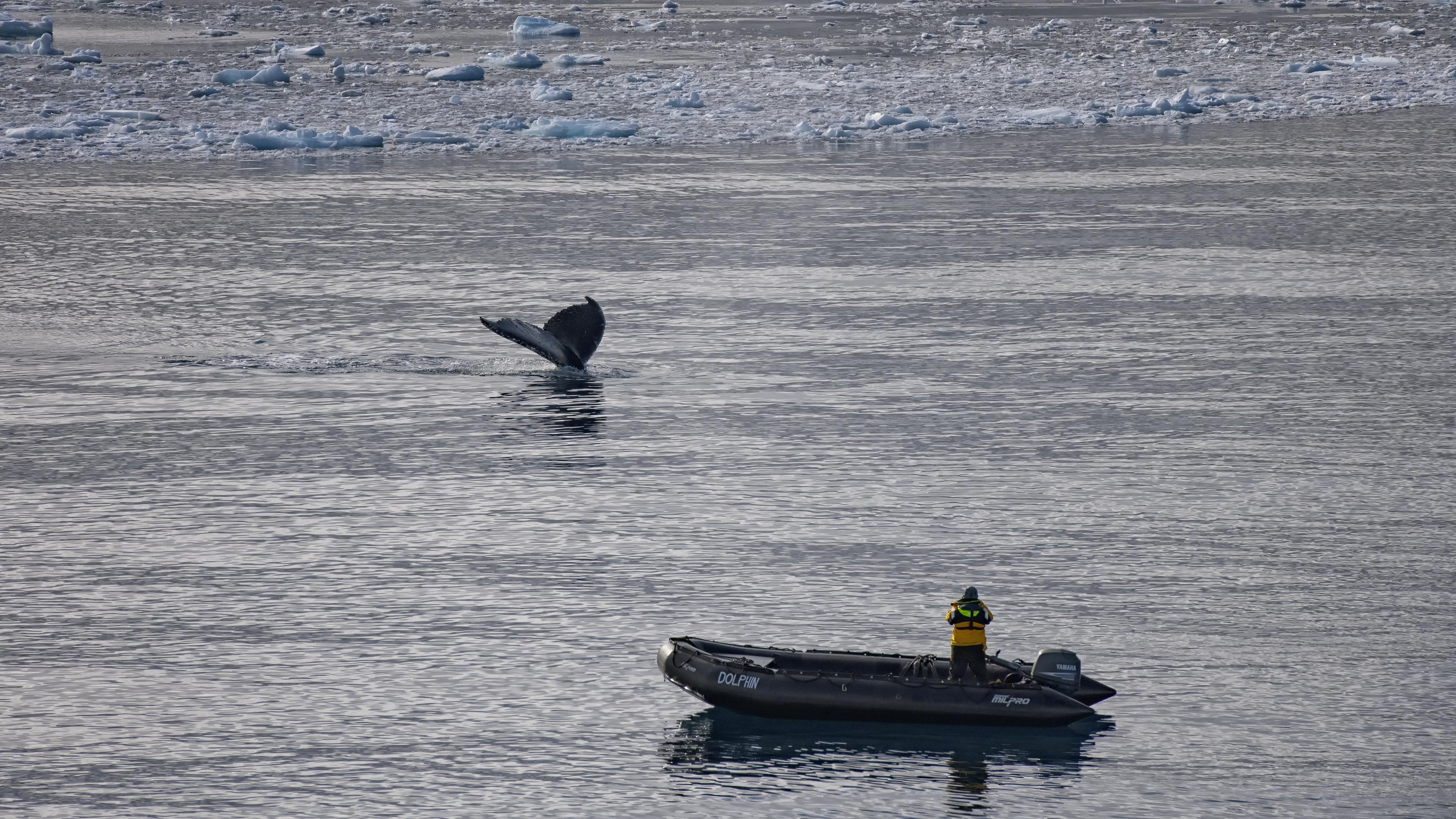 Humpback Whale near Astrolabe lsland