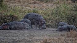 Ox Peckers remove parasites