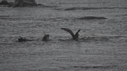Elephant Seal after an Albatross