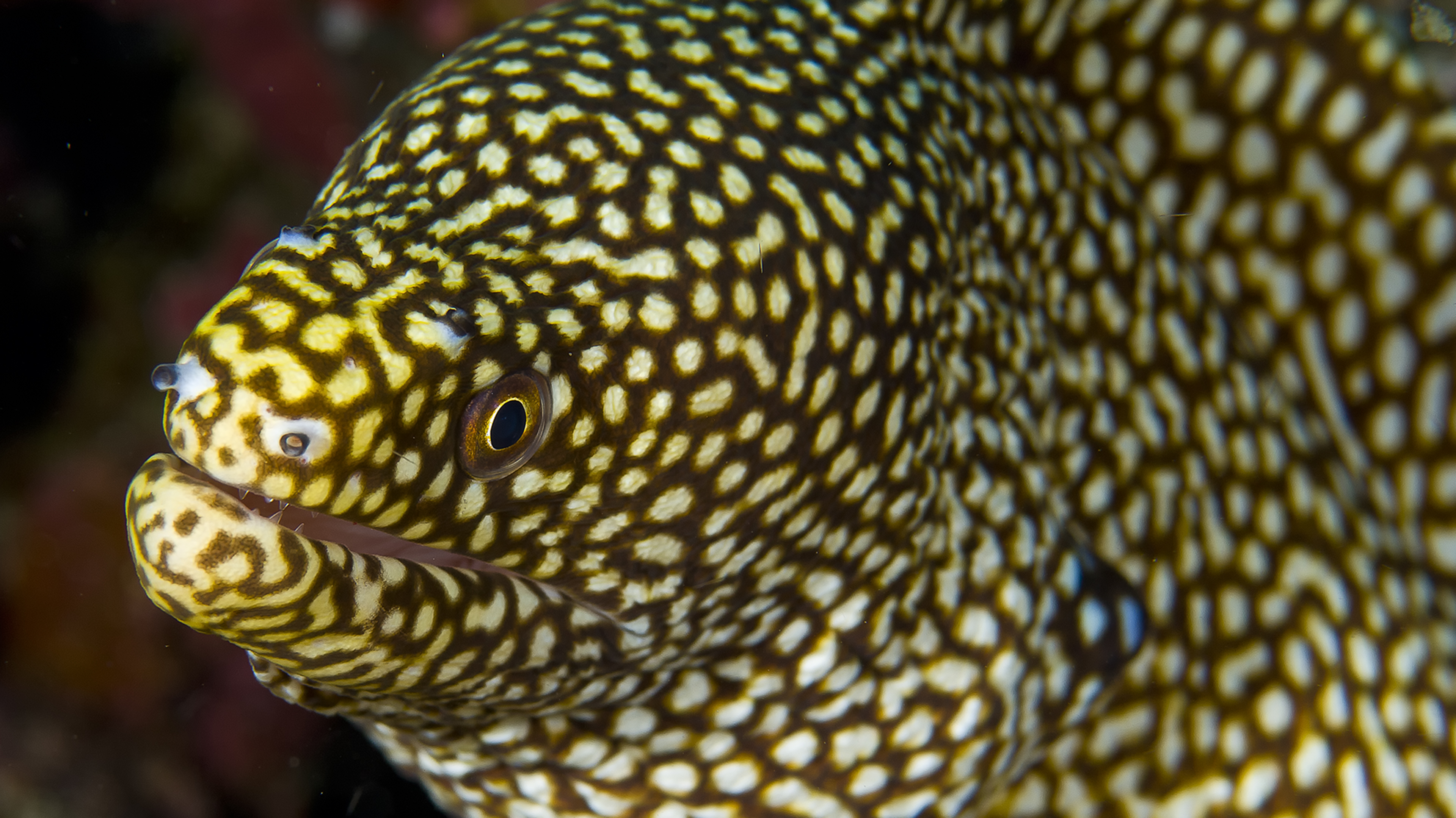 Honey Comb Moray Eel
