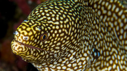 Honey Comb Moray Eel