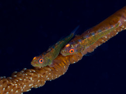 Sea whip with twin gobies