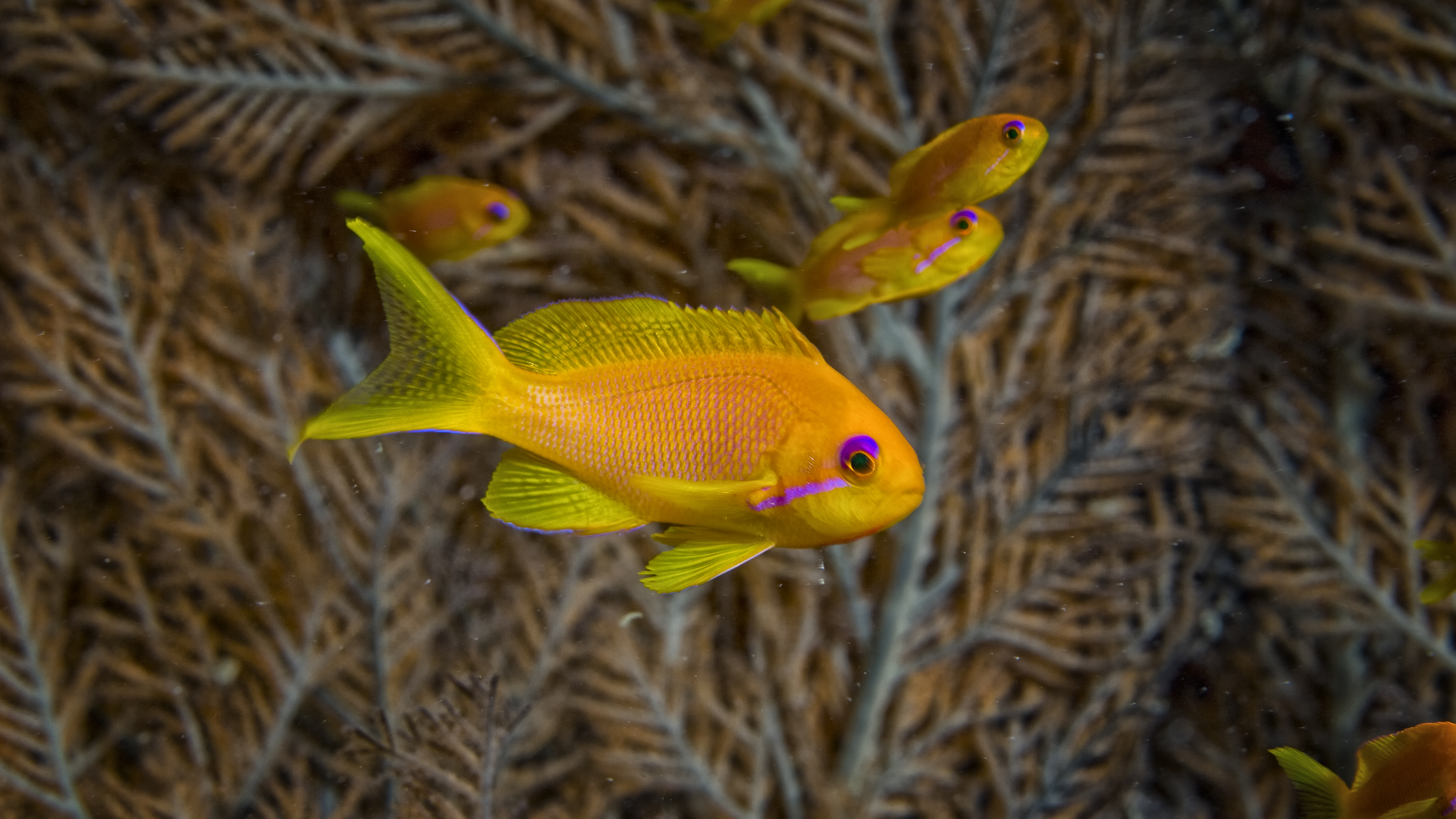 Gold Anthias