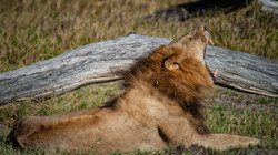 Lion in Grass