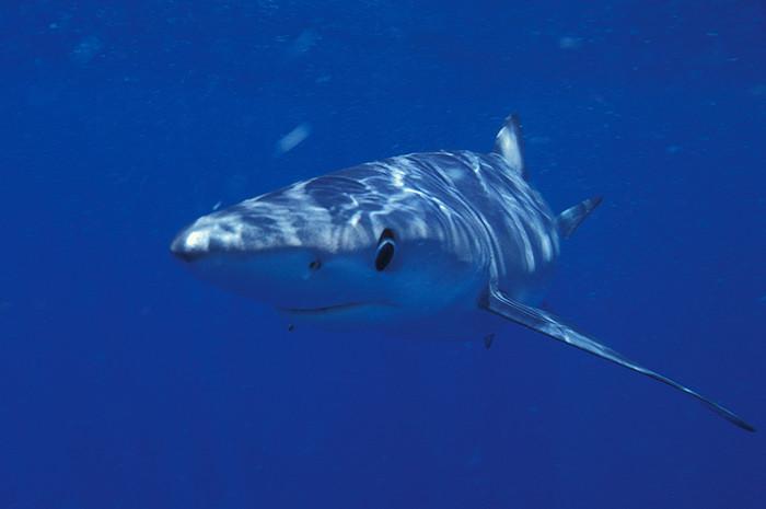 Blue-Shark.jpg