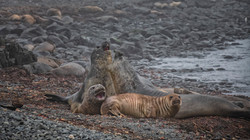 Elephant Seals on President Head