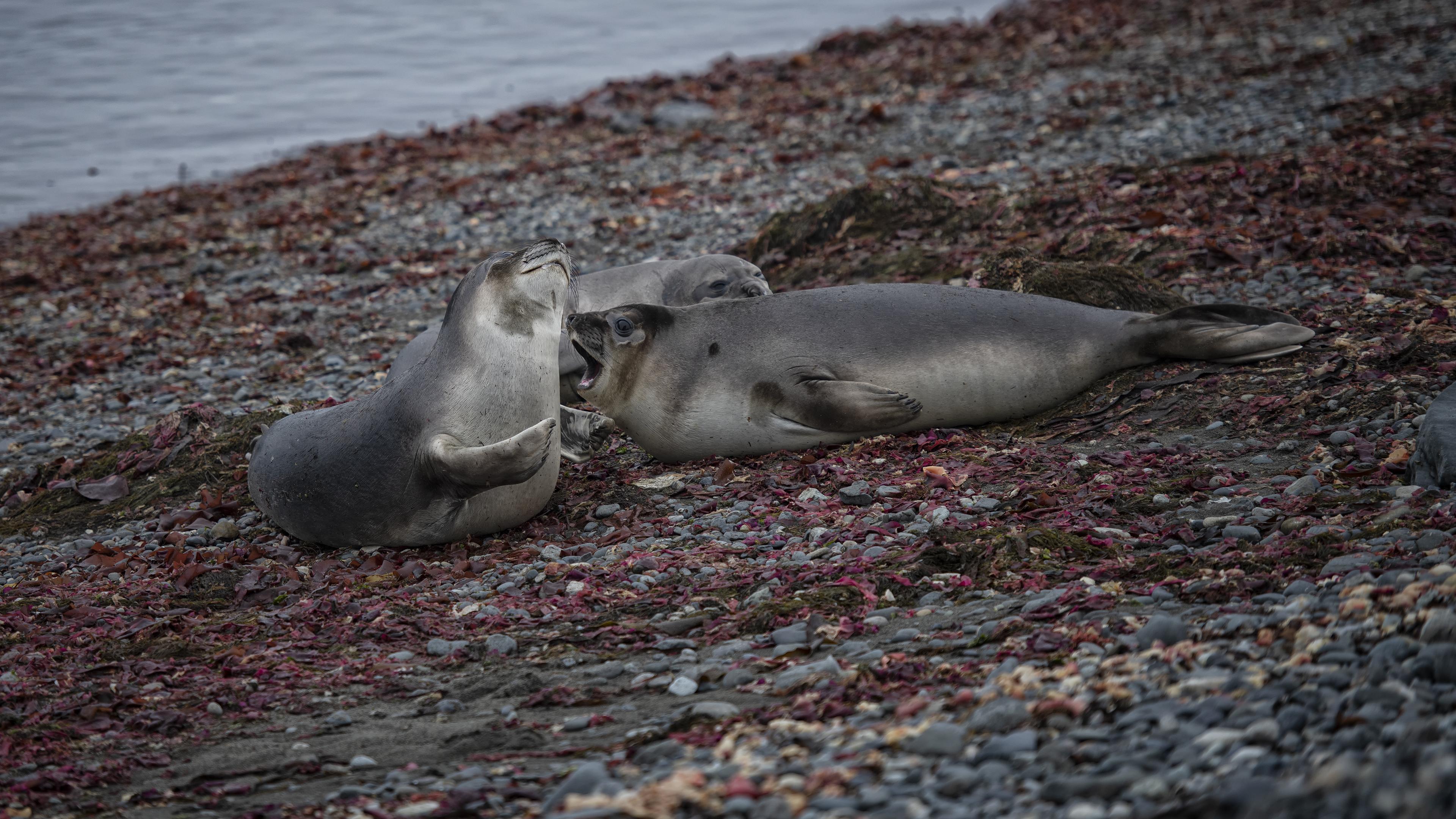 Female Elephant Seals