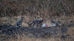 Mother Cheetah and Cubs