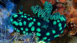 Green Nudibranch