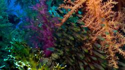 Red Sea Soft Corals and Minnows