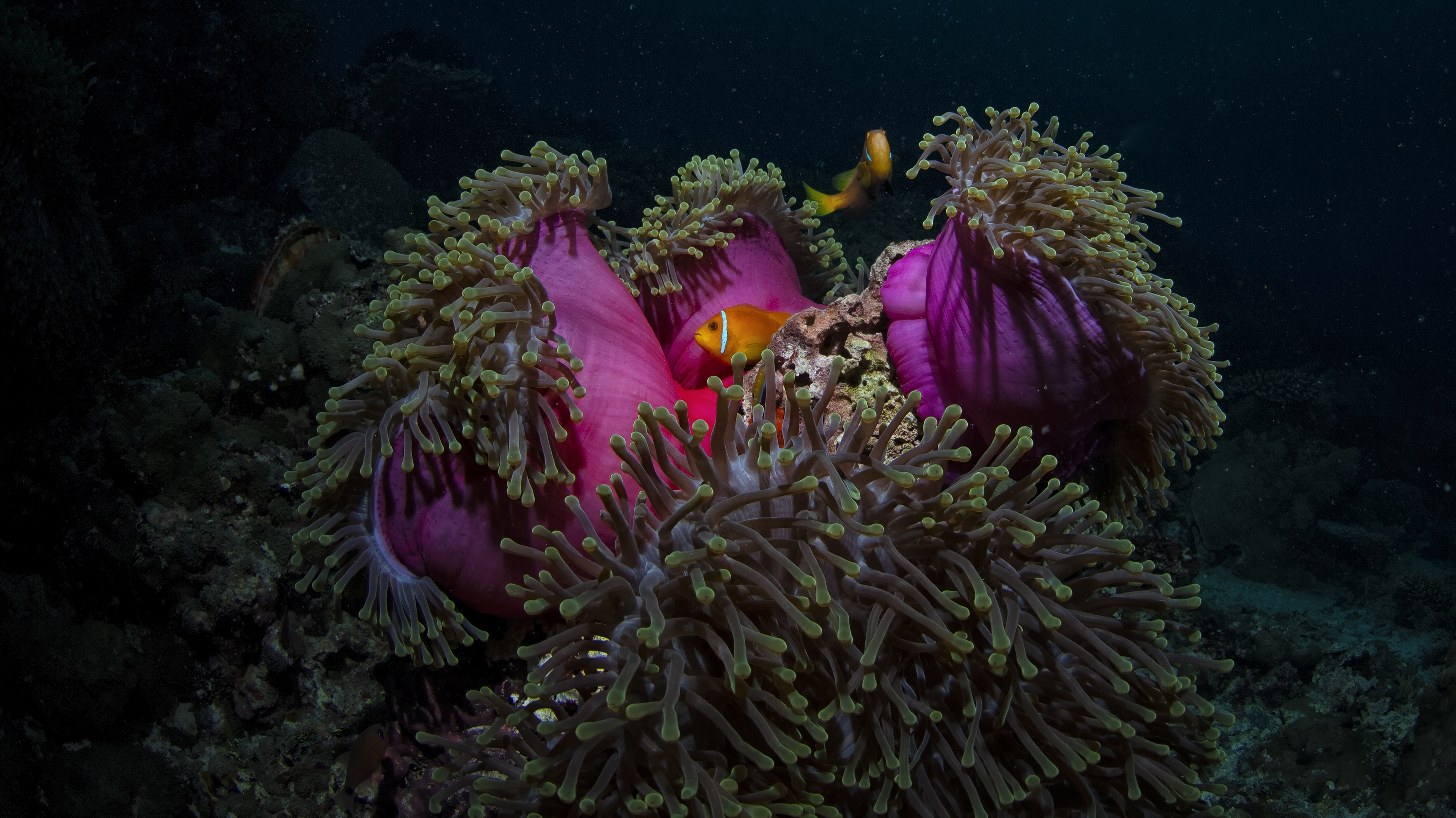 Red Anemone and Clownfish