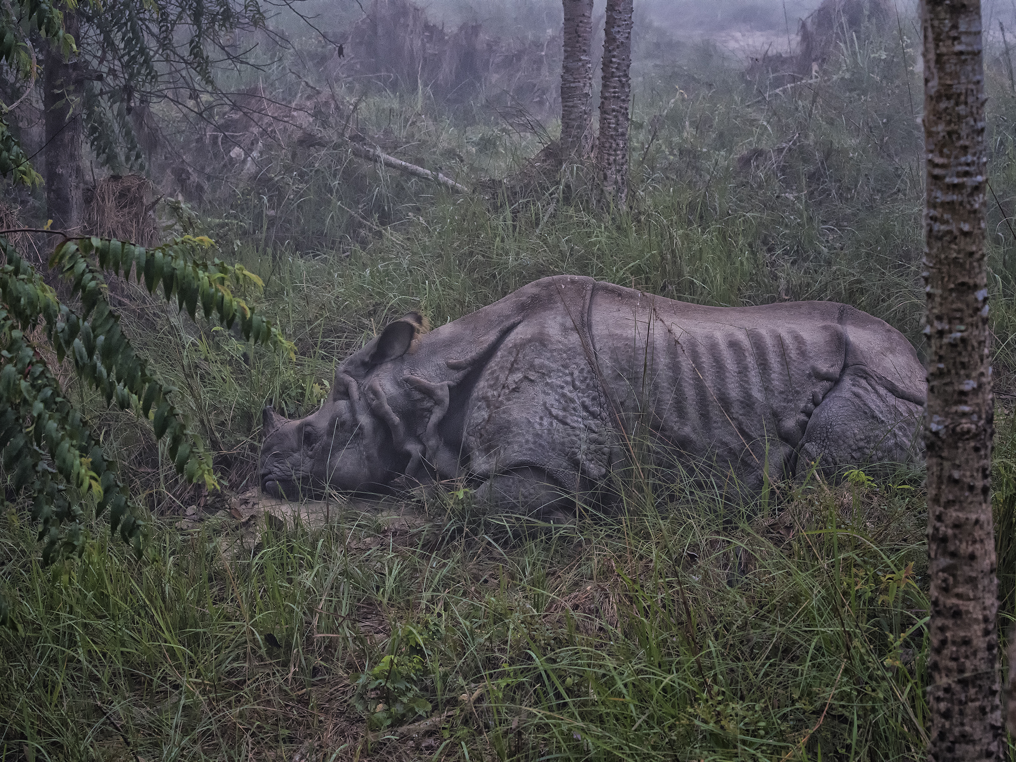 One Horned Asian Rhino