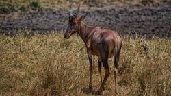 Topi Antelope in the Masai Mara