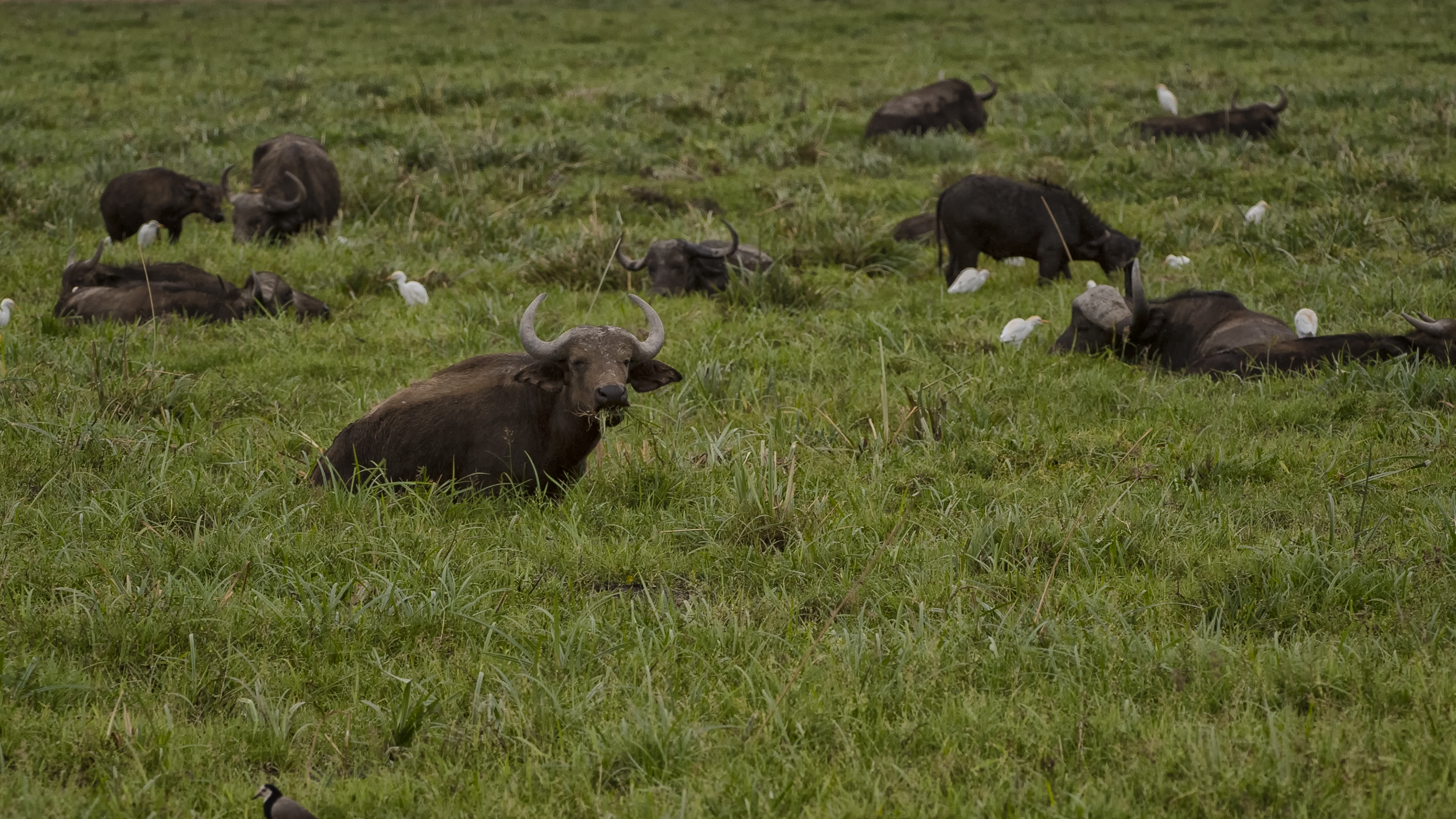 Buffalo in Lake Manyara