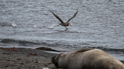 Albatross Taking Off Elephant Point