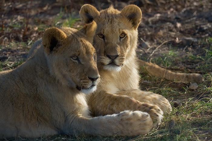 Lions_RJL5298.jpg