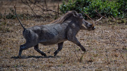 Warthog in the Masai Mara