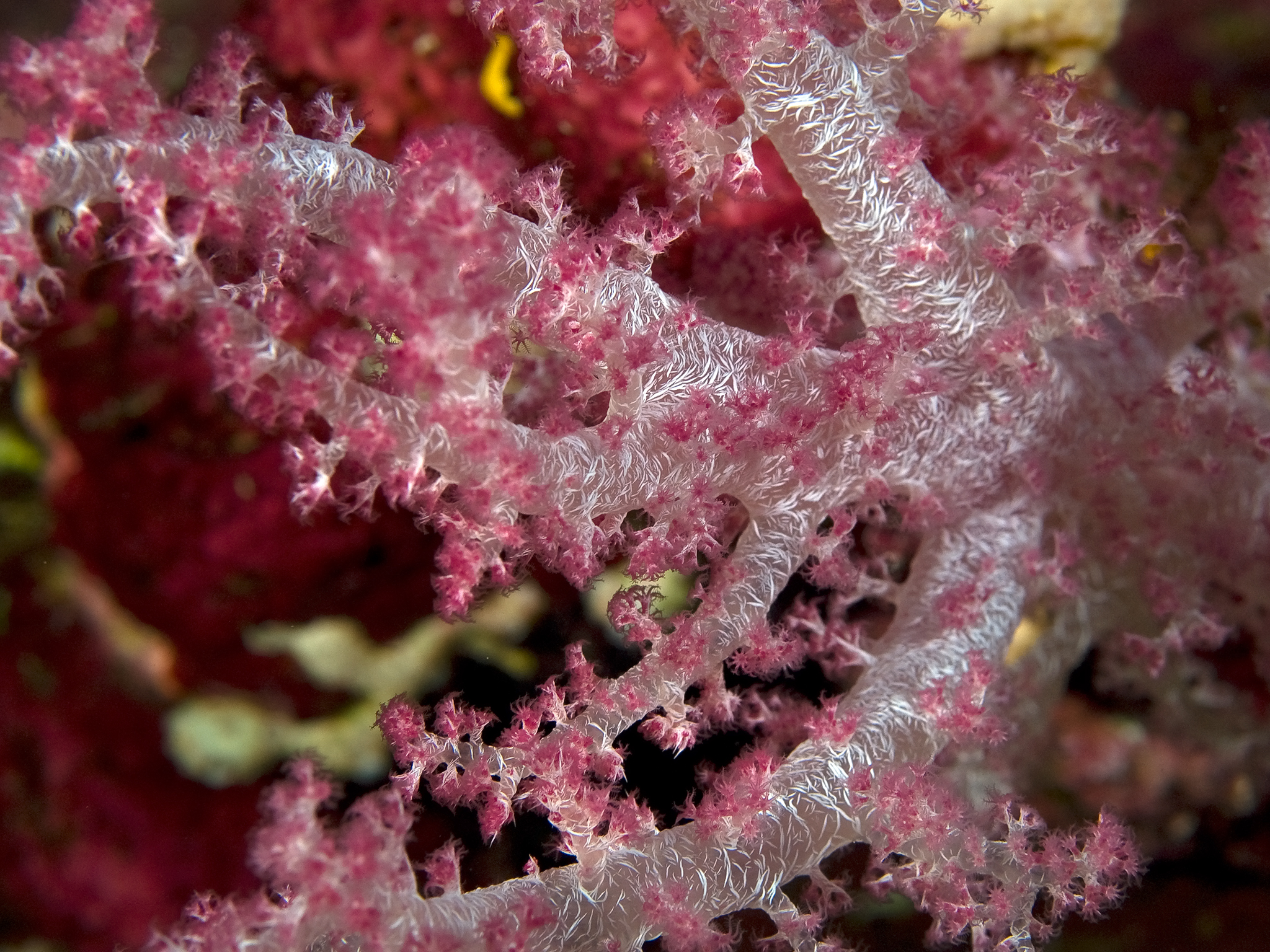 Red Sea Softcoral