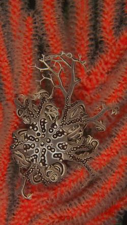 Basket Starfish on Gorgonian