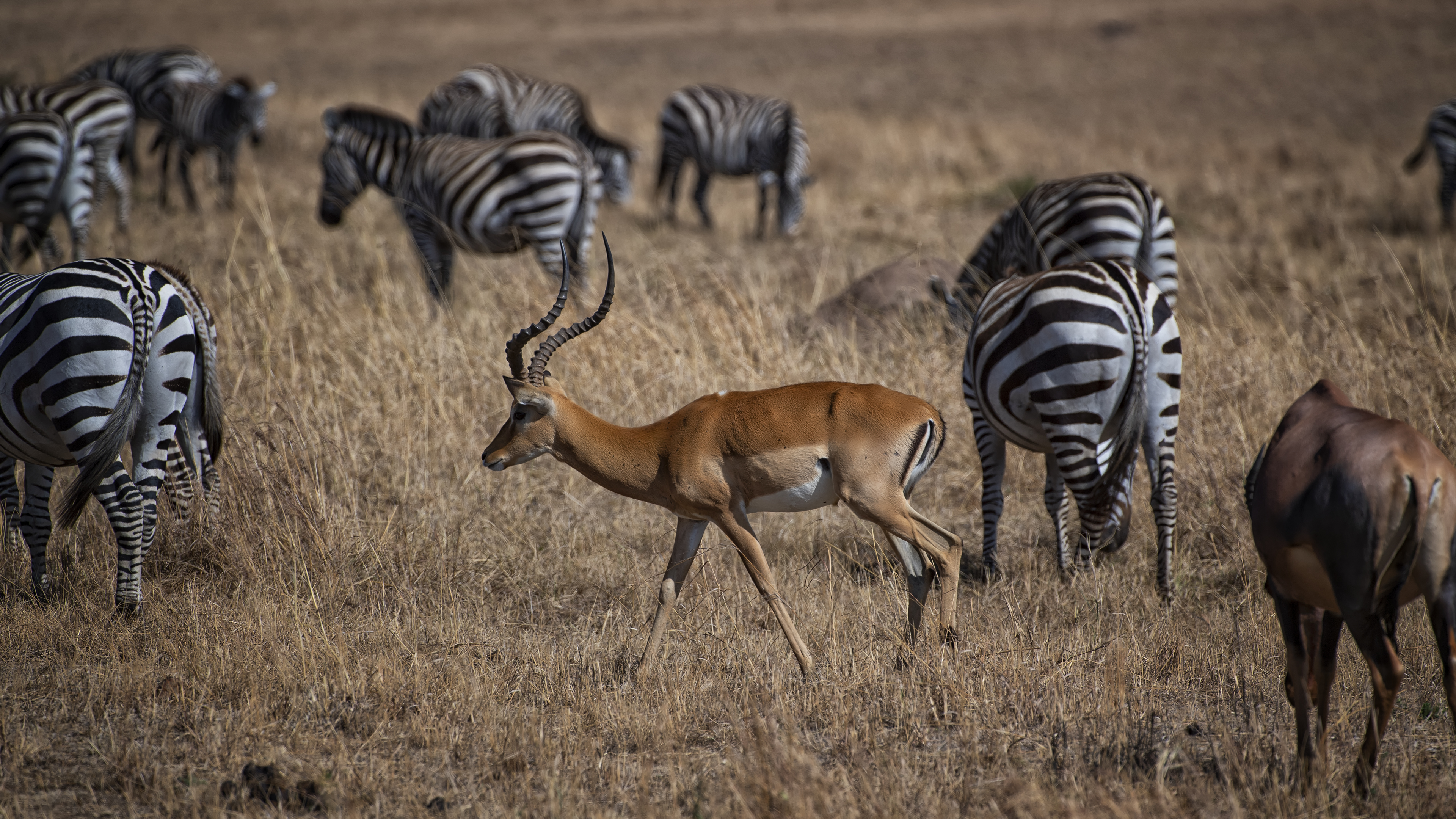 Impala and Zebras