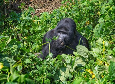 Mountain Gorilla - Silver Back