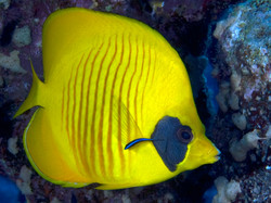 Butterfly Fish - Cleaner Wrasse