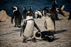 South African Penguin in Gordons Bay