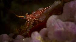 Nocturnal Shrimp