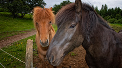 The Magnificent Icelandic Horses
