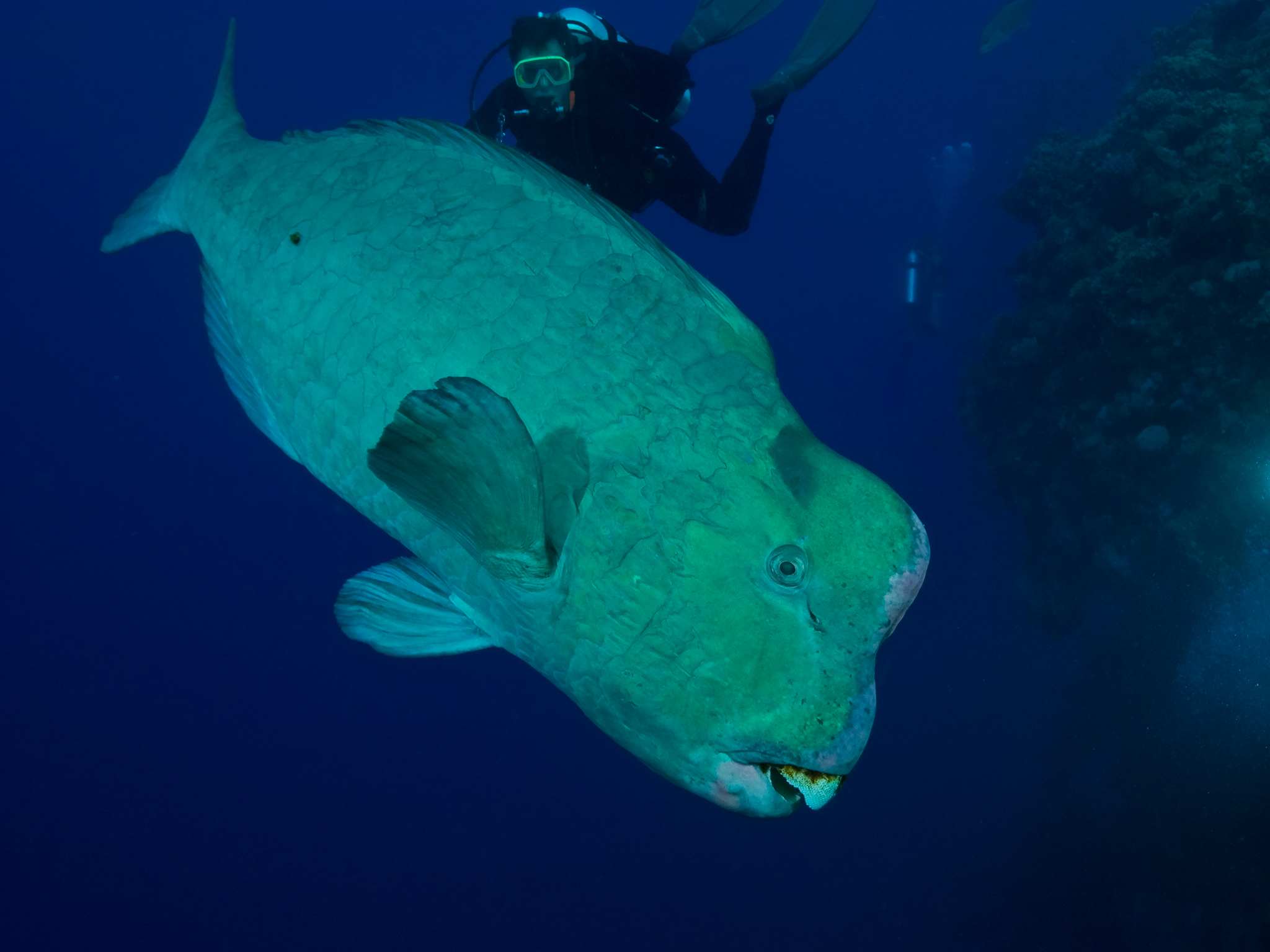 Humphead Parrotfish