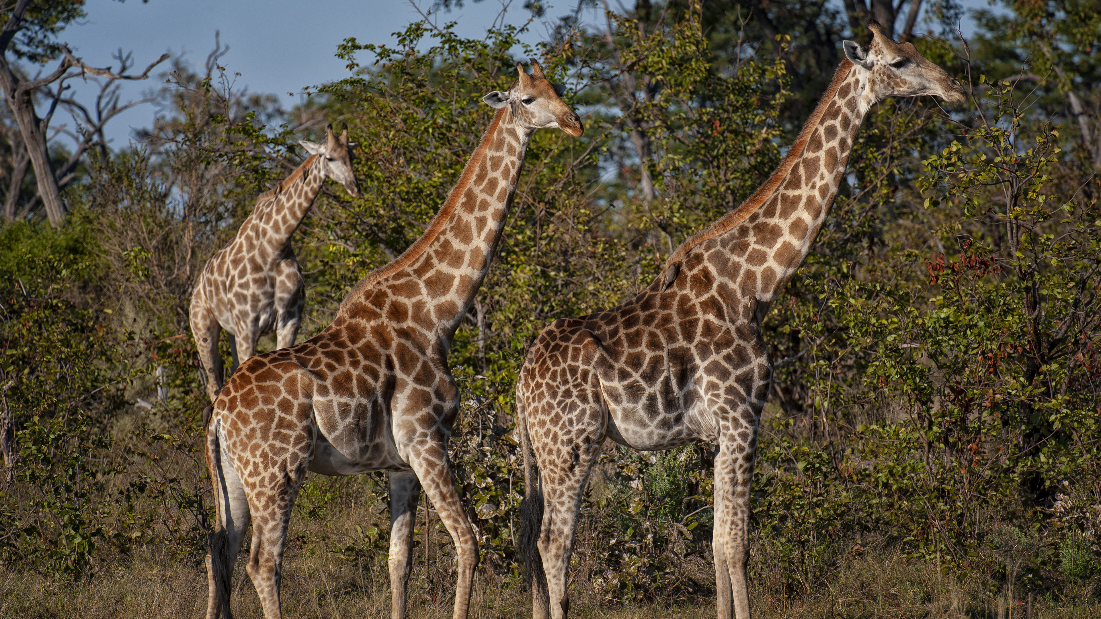 Three Giraffe