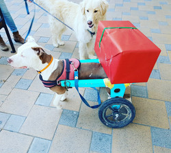Alexitabull | Wheelchairs for dogs