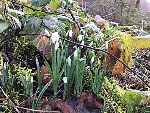 De eerste krokussen in bloei - Les Caban