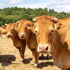Koeien - Les Cabanes de Rouffignac.jpg