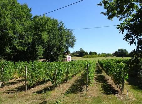 Druiven plukken bij Les Cabanes De Rouffignac