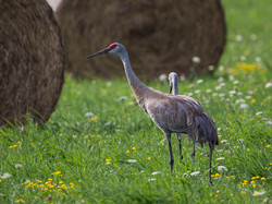 Sandhill-Crane