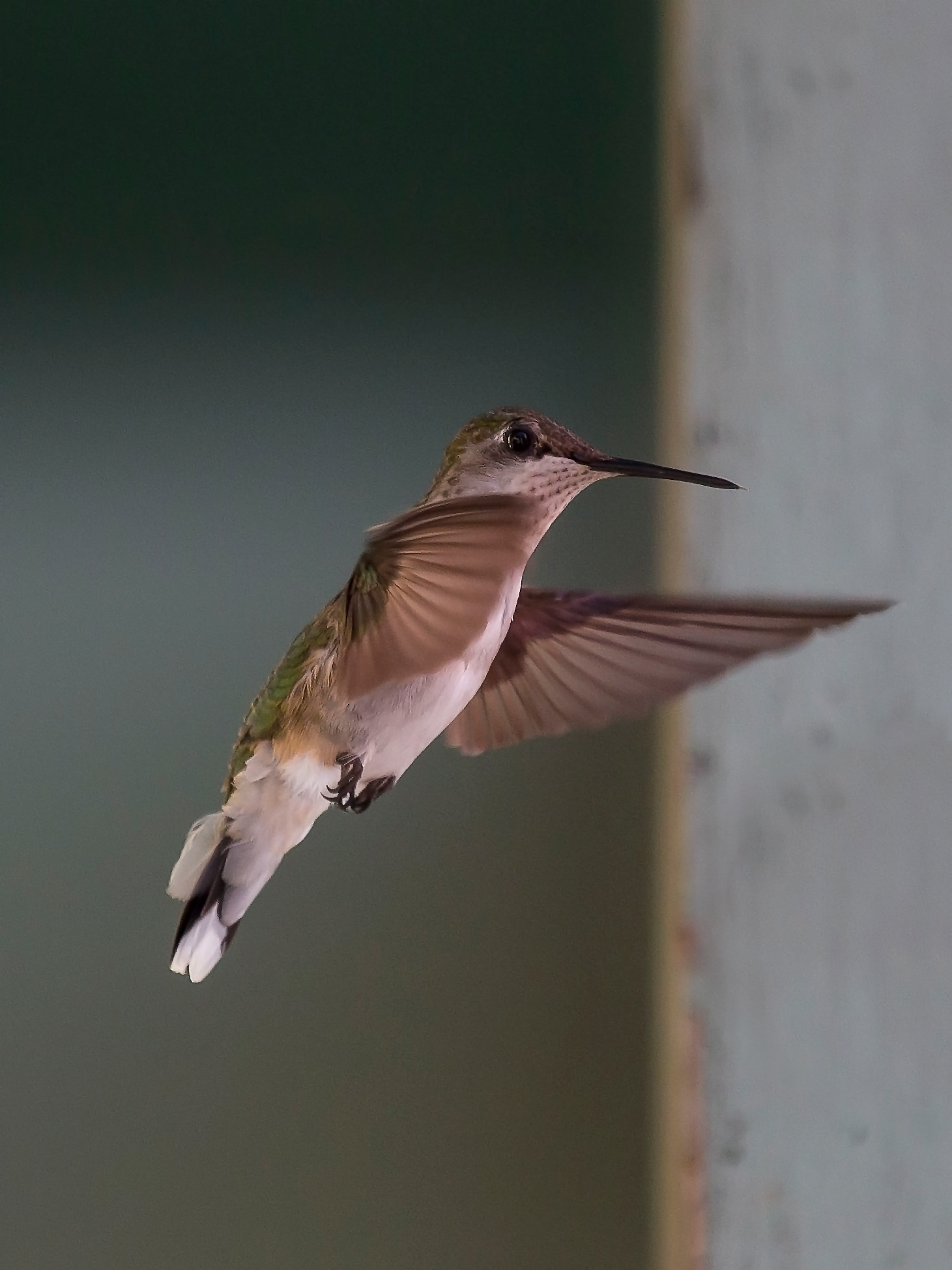 Our local hummingbird