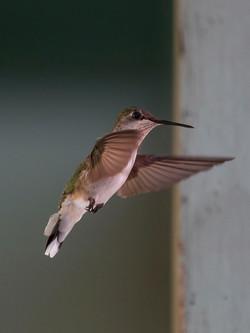 Our local hummingbird