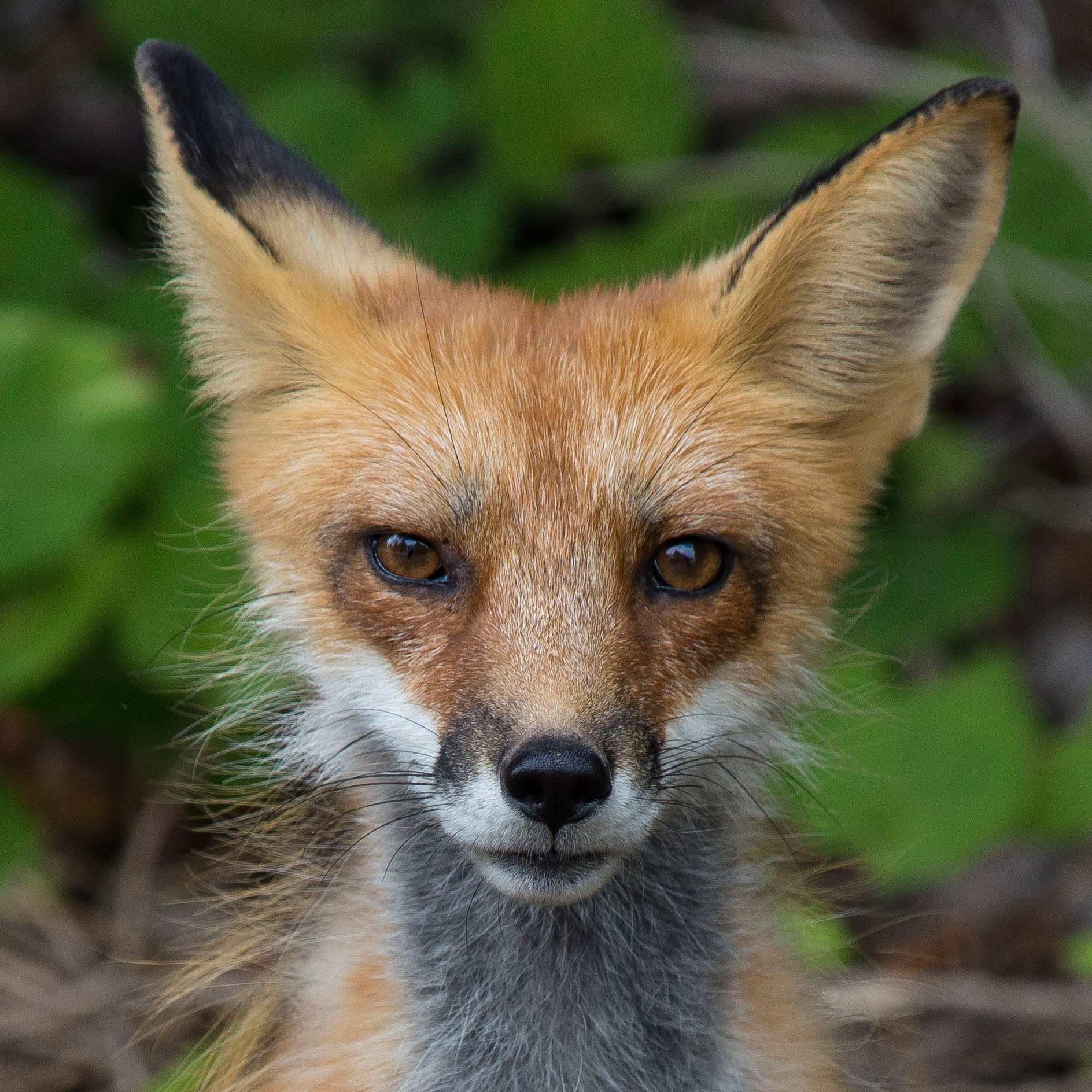 Curious resident Fox