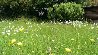 Wildflower Meadow - Cultivated and encouraged over many years - Backwell