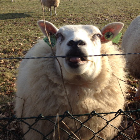 Sheep and Sandwiches