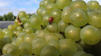 Zero insecticide Champagne Naveau Chardonnay ladybug