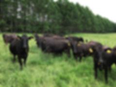 興味津々。こちらを見る牛たち.JPG