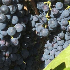 Tout savoir sur la Cure de raisin