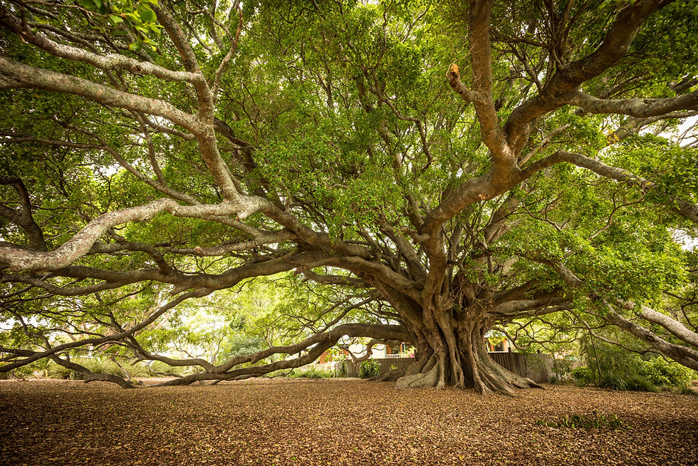 better old fig tree.jpg